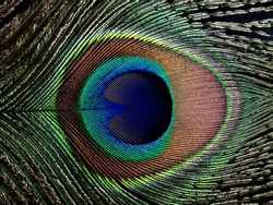 Close up of a Peacock feather filling the frame