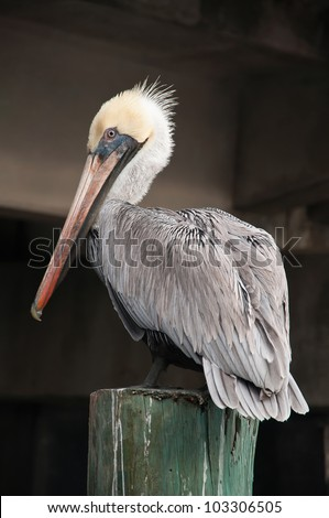 Close Up of a Pelican Sitting on a Wooden Pole