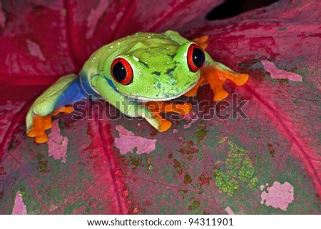 Close-up of a perched red eye tree frog (Agalychnis callidryas)