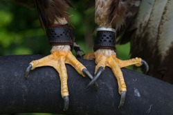Close up of a perching Tawny Eagle's feet with long, sharp talons at Lyberty's Owl, Raptor and Reptile conservation centre in Dorset, UK.