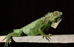 Close up of a pet green iguana (Iguana iguana) shedding its skin and sunbathing. Colorful reptile standing on a branch in a terrarium isolated with a black background. Iguana shed scales.