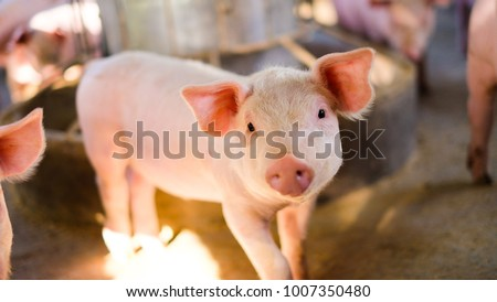 Close-up of a pig picture portrait cute, farm in Thailand.