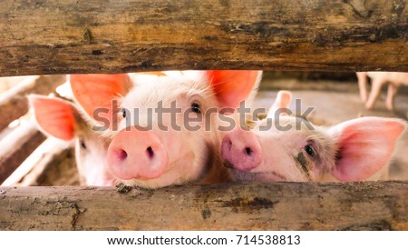Close-up of a pig playing in a play yard, Thailand ストックフォト ©