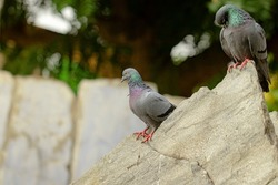 Close-up of a pigeon bird sitting outside in summer with blur background of nature