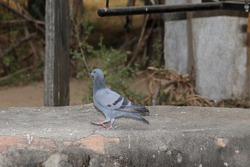 Close-up of A pigeon bird walking on wall
