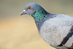 Close up of a Pigeon, The rock dove, rock pigeon, or common pigeon is a member of the bird family Columbidae. In common usage, this bird is often simply referred to as the