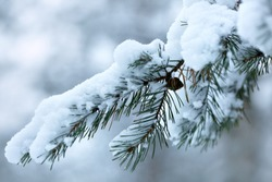 close-up of a pine branch with a cone under the snow