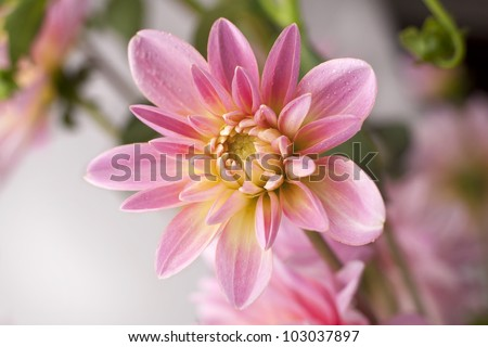 Close up of a pink aster flower.