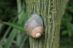Close up of a pink colour shelled snail or land snail on a thorny tree trunk with the trunk