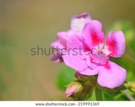 close up of a pink geranium in a green park