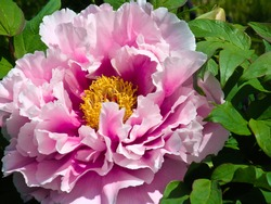 Close up of a pink Japanese Peony flower in full bloom on the tree with surrounding green leaves.