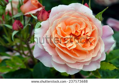 Close up of a pink rose in the Rose Garden of Palmerston North, North Island, New Zealand.