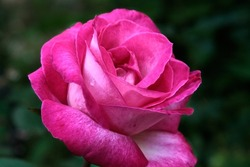 Close-up of a pink rose on a dark green background. High quality photo