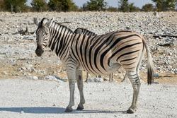 Close-up of a Plains zebra (Equus quagga) or Burchell's zebra (Equus quagga burchellii) in African savanna at Etosha national park, Namibia.