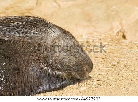 Close up of a Porcupine Sleeping