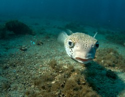 Close up of a Porcupinefish-Diodon hystrix, picture taken under the Blue Heron Bridge in the intercoastal waterway of Palm Beach County, Florida.