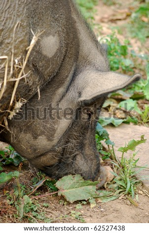 Close up of a pot bellied pig