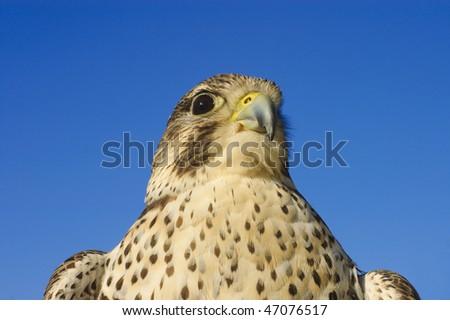 Close up of a Prairie falcon