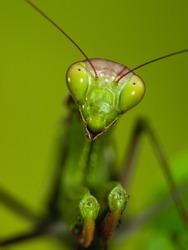 Close-up of a praying mantis