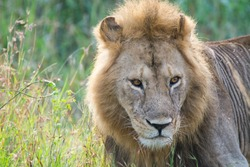 Close-up of a proud male lion king with impressive mane relaxing at Serengeti National Park, Tanzania, Africa.