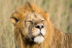 Close-up of a proud male lion king with impressive mane scannes the environment at Serengeti National Park, Tanzania, Africa.