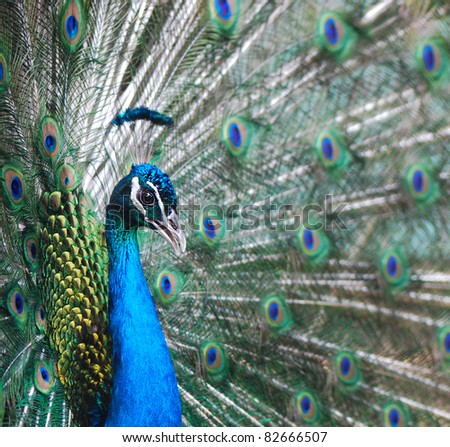 Close-up of a proud peacock showing off