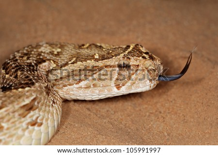 Close-up of a puff adder (Bitis arietans) snake with flicking tongue