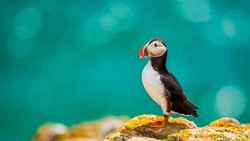 Close-up of a puffin, Atlantic Puffin, Puffin, Fratercula artica, artic black and white cute bird with red bill sitting on the rock, Sea bird from Iceland. Cute bird on the rock cliff