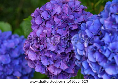 Close up of a purple hydrangea bloom growing in a garden, blue blooms in foreground and background  #1480504523