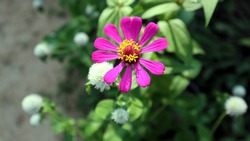 Close up of a purple zinnia flower with it's open disk floret