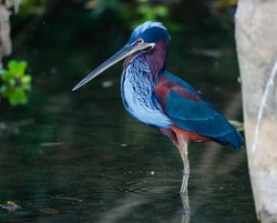 Close up of a rare wonderful Agami Heron foraging in shallow water under trees at river edge, Pantanal Wetlands, Mato Grosso, Brazil
