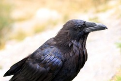 Close-up of a raven