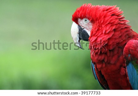 Close-up of a Red-and-green Macaw