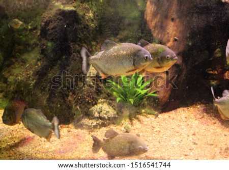 Close up of a red-bellied piranha fish in an aquarium. Also known as the red piranha (Pygocentrus nattereri)