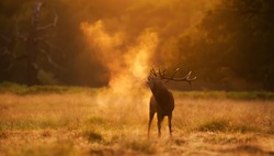 Close up of a Red Deer calling during rutting season at sunrise, UK.