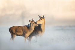 Close up of a red deer hind with a calf on a frosty winter morning, winter in UK.
