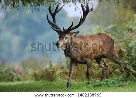 Close up of a red deer stag during rutting season in autumn, UK #1482138965