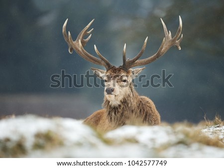 Close up of a Red deer stag during snow  in winter, UK  #1042577749
