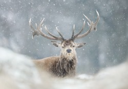 Close-up of a red deer stag in the falling snow, winter in UK.