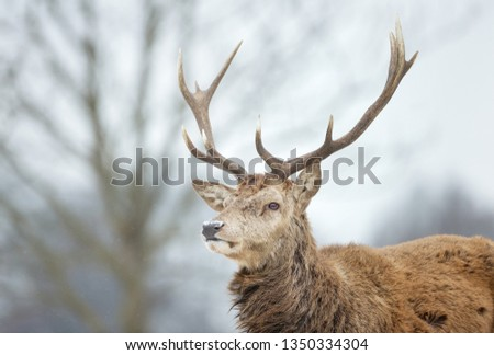 Close-up of a red deer stag in the falling snow, winter in UK. #1350334304