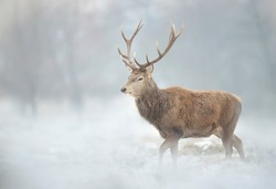 Close up of a Red deer stag in winter.