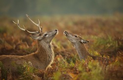 Close up of a Red deer stag with a hind during rutting season, autumn in UK.