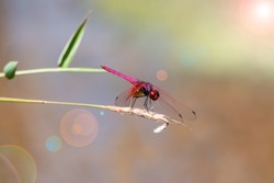 Close-up of a red dragonfly on a branch.