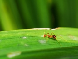 Close up of a red fire ant or solenopsis on a gree leaf isolated on green blurry background.