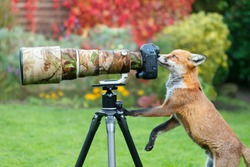 Close up of a red fox (Vulpes vulpes) curiously looking through a camera lens, United Kingdom.