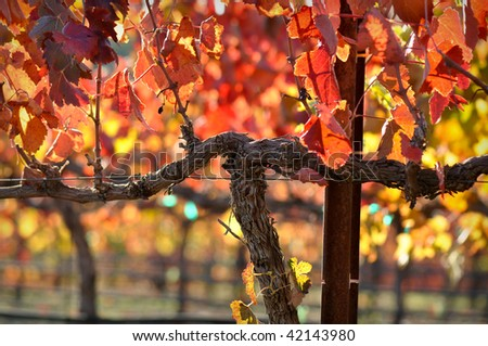 Close up of a Red Grape Wine Vine