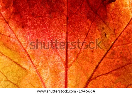Close up of a red ivy leaf