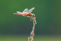 Close-up of a red male Sympetrum fonscolombii, Red-veined darter or nomad resting on vegetation