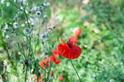 close-up of a red poppy flower in an uncultivated meadow