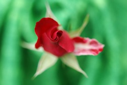 Close up of a red rosebud. Floral macro. Macro nature.